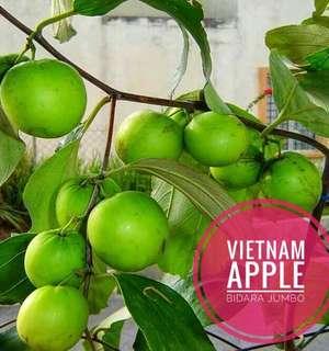 Pokok buah apple bidara vietnam