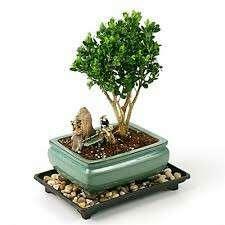 Gardening ♡ Japanese Boxwood Bonsai Seeds X 10