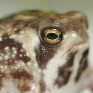 Meme Frog