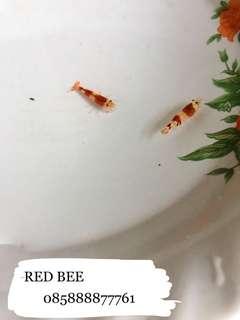 udang hias red bee