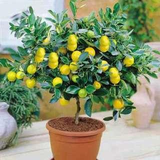 Gardening ♡ Lemon Bonsai Seeds X 10
