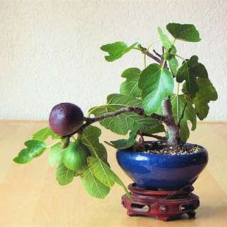 Gardening ♡ Mini Fig Bonsai Seeds X 20