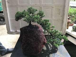 juniper 珍珠柏