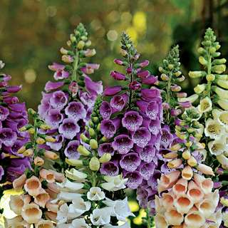 Gardening ♡ Foxglove Flower Seeds Pack