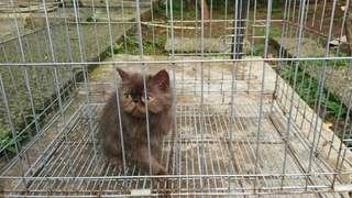 Persia Peaknose cat kucing jantan anak 5.5 bulan