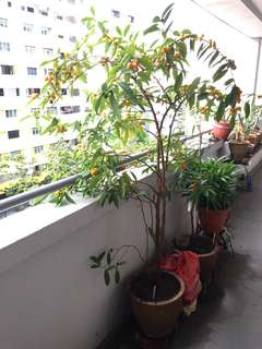 *Reserved 3 April* Free Kumquat Plant