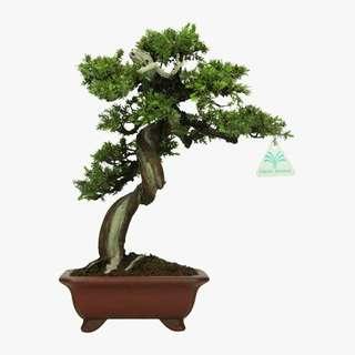 Gardening ♡ Juniperus Rigida Seeds X 10
