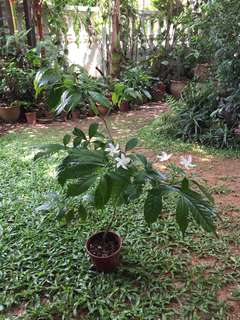 Nice plant with beautiful white flowers