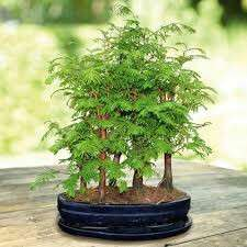 Gardening ♡ Dawn Redwood Bonsai Seeds X 15