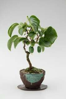 Gardening ♡ Thailand Mini Kiwi Bonsai Seeds X 20 (From US)