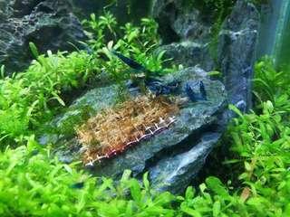 Dream blue shrimp