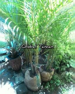 Tanaman Palem kuning / Pohon palem kuning