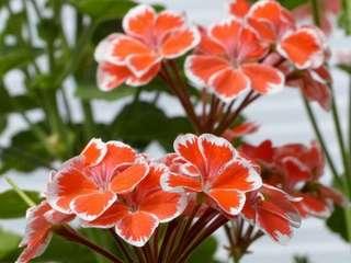 Gardening ♡ Geranium Flowering Plant Seeds X 20