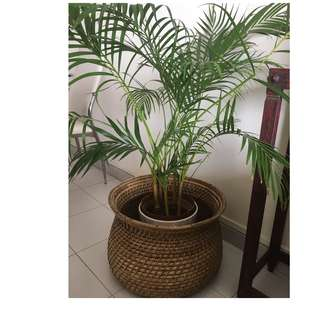 Indoor plant with white pot