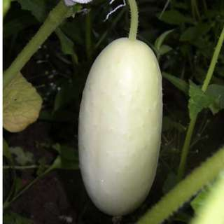 Cucumber 'White Wonder' (Cucumis Sativus) Vegetable Heirloom, 70 Seeds