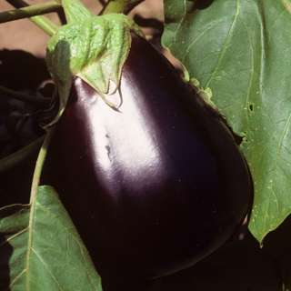 Eggplant 'Black Beauty' (Solanum Melongena L.) Medium Early Vegetable Heirloom, 200-220 Seeds