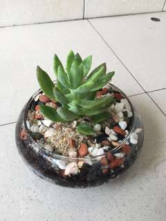 "Succulent in a Glass Pot (Pot Size: 3""x6"")"