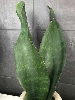 Whale Fin Masoniana Sansevieria Snake Plant  58cm (15cm pot)