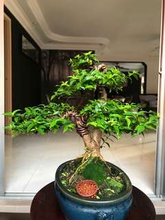 Bonsai small leaves vietnamese shui mei