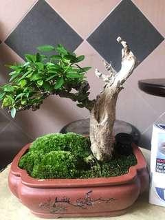 Bonsai shohin with deadwood effect small leaves vietnamese shui mei