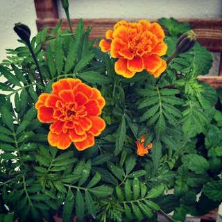 Petite French Marigold in pot