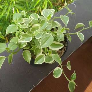 Peperomia scandens RE-STOCK