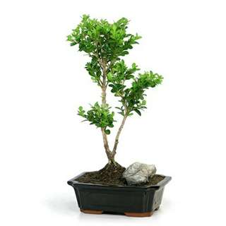 Gardening ♡ Japanese Boxwood Bonsai Seeds X 10 (From Japan)