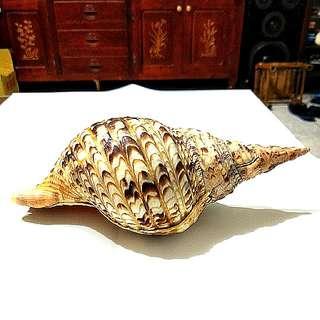 🚚 鳳尾螺,法螺