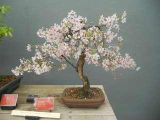 Gardening ♡ Sakura Bonsai Seeds X 2