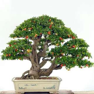 Gardening ♡ Taiwan Mini Pearl Cherry Bonsai Seeds X 3