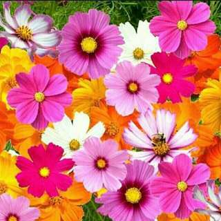 GARDENING - Cosmos Flower Seeds For Sale
