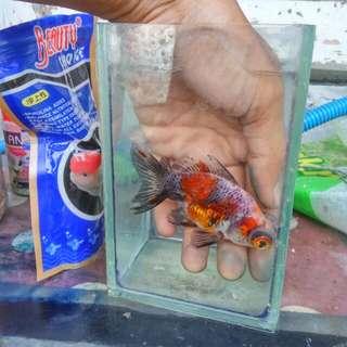 Ikan hias mas koki demekin calico ukuran M