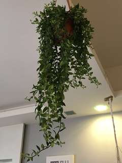 Lipstick Plant (Indoor Plants)