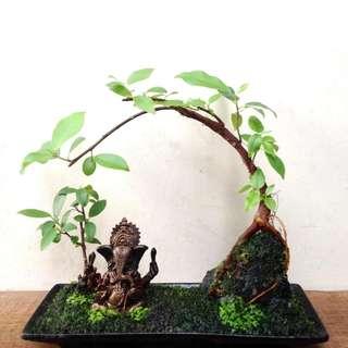 Zen  Bonsai  -  Nirvana  Series  1015