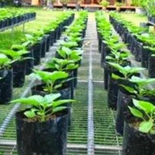 PREMIUM QUALITY UV NURSERY PLANTATION BAG BLACK COLOR (NO HOLE) 12 x 12 inch 25KG