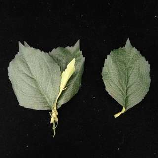 Leaf Type M for SELL