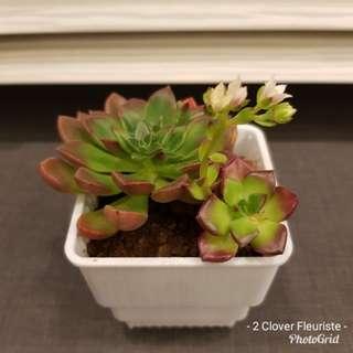Rare succulent