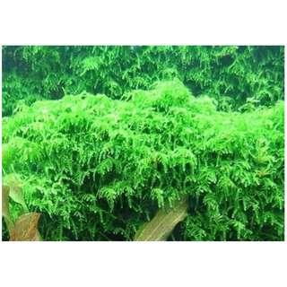 Aquatic Plant - Weeping Moss (Pre orders only)