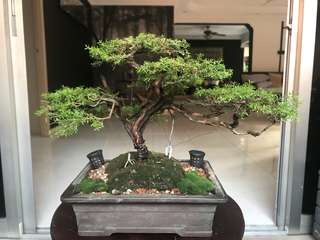 Bonsai australian fragrant pine (not for sale)