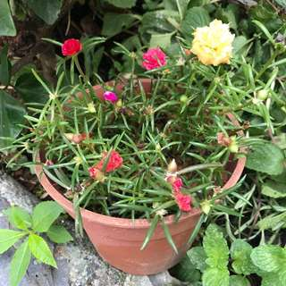 Portulaca Grandiflora (1 pot with at least 5 colours)