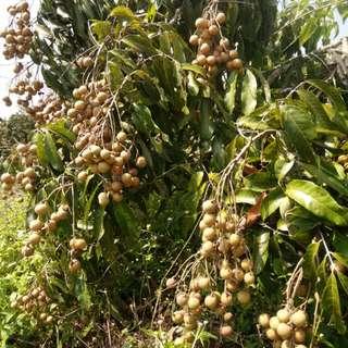 Anak pokok longan