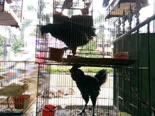 Ayam cemani betina dan jantan 7 bulan siap bertelur