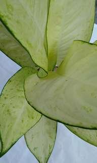 Sri rejeki exotica hybrid