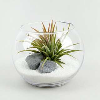 Airplant in 8cm clear glass vase white sands