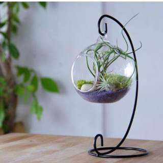 Airplants with seashell in 13cm hanging terrarium