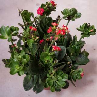 Bountiful potted plant with little red flowers