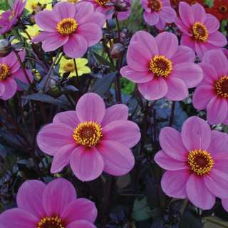 Dahlia Summer 'Mignon Purple Shades' (Dahlia Variablis) Flower Heirloom, 90-110 Seeds