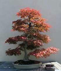 Gardening ♡ Japanese Red Maple Bonsai Seeds X 12