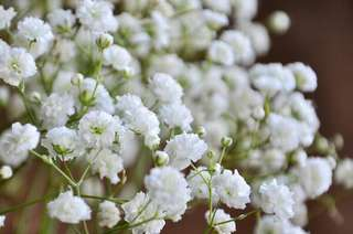 Gardening ♡ White Baby Breath Seeds X 20