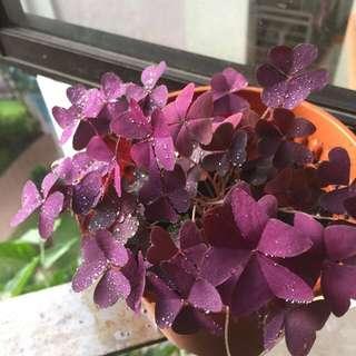 Purple shamrock/love plant
